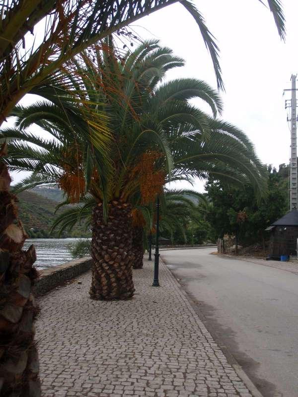 Mrazuvzdorné palmy