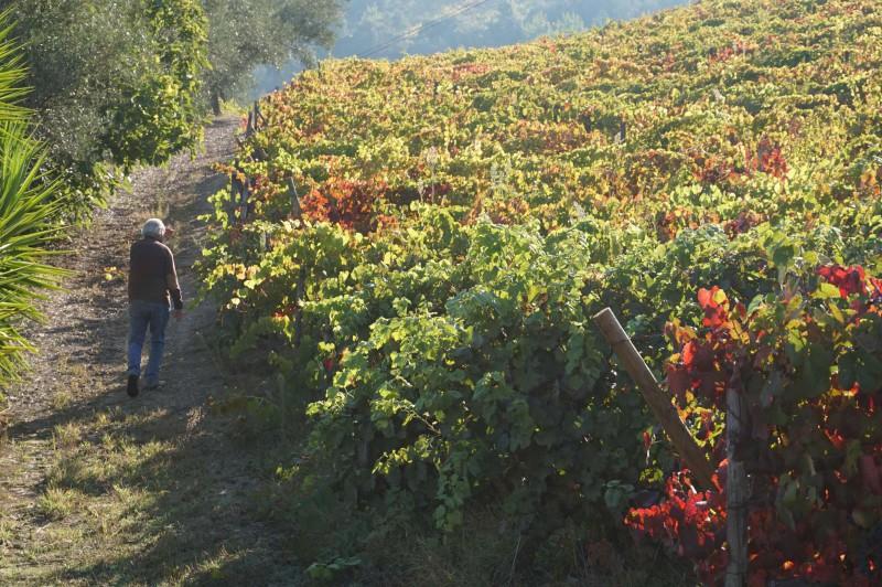 Majitel obhlíží svůj vinohrad