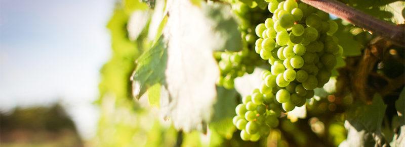 Odrůda Rabigato dodává bílému portskému vínu kyselinku a vůni. Pěstuje se především v oblasti Douro Superior, neboť dobře snáší i vysoké letní teploty. (Zdroj: thienpontwine.com)